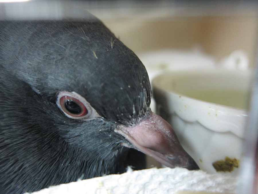 A injured pigeon lays comfortably and safely in a cage with food and water.