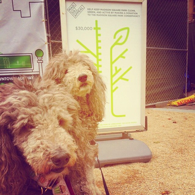 #nycpoodles supporting #MadSqAppeal Madison Square Park Conservancy