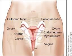 uterus-1.jpg