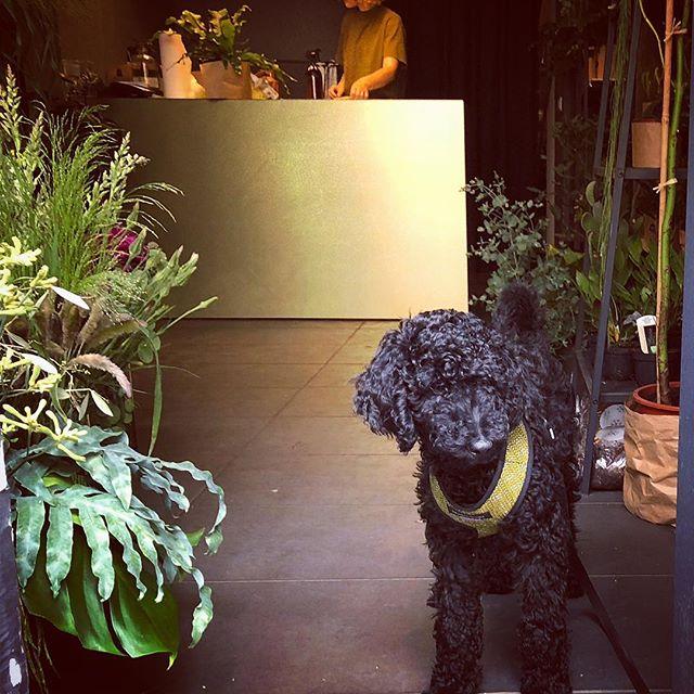 Lupus nenorėjo išeiti iš parduotuvės, jam patiko vėsios grindys ir citrininio jeronimo kvapas (kurį jis ir nusipirko)
