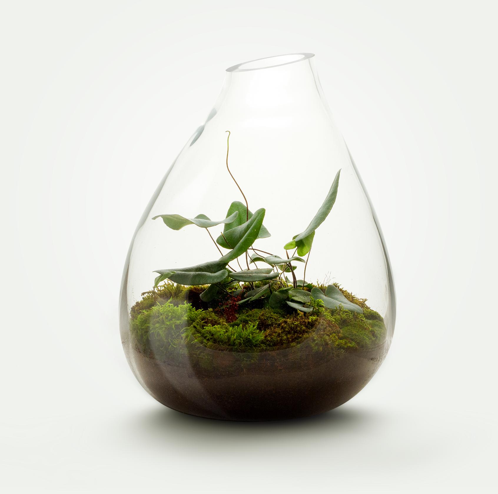 MIŠKO SAMANA + Heart Fern - Įeinantys augalai:  Miško samana, Hemionitis Arifolia