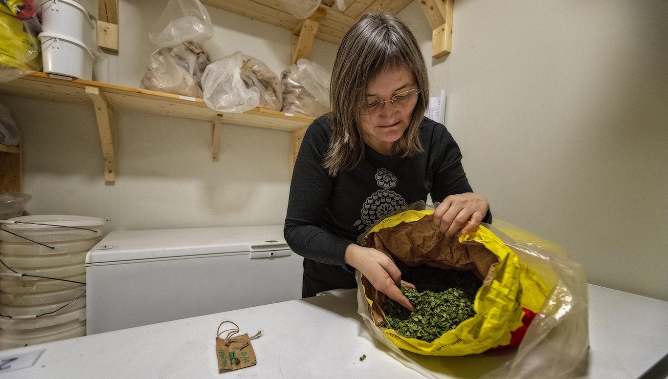 DVERGBJØRKLØV: I Finnmark er dvergbjørk kjent under navnet skierri. Løvet smaker som fjellbjørkeløv, men er søtere, mildere og med litt annen aroma. Skierrigreinene inneholder så mye olje at de også er gode til å lage bål med i regnvær.