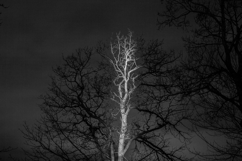 Oak Trunk - Wakefield