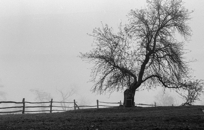 Apple Tree - Bristol