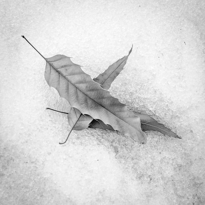 Three Locust Leaves