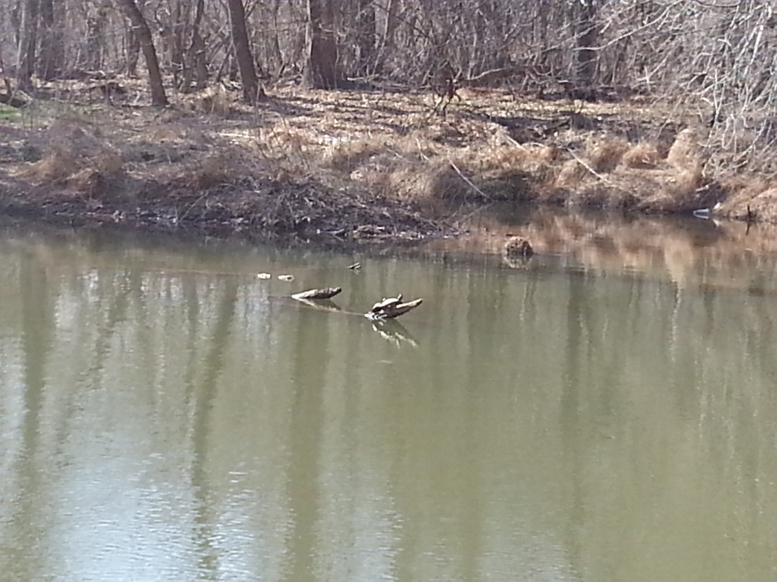 Turtles sunning on a log in the middle of the Eno River, West Point on the Eno Park