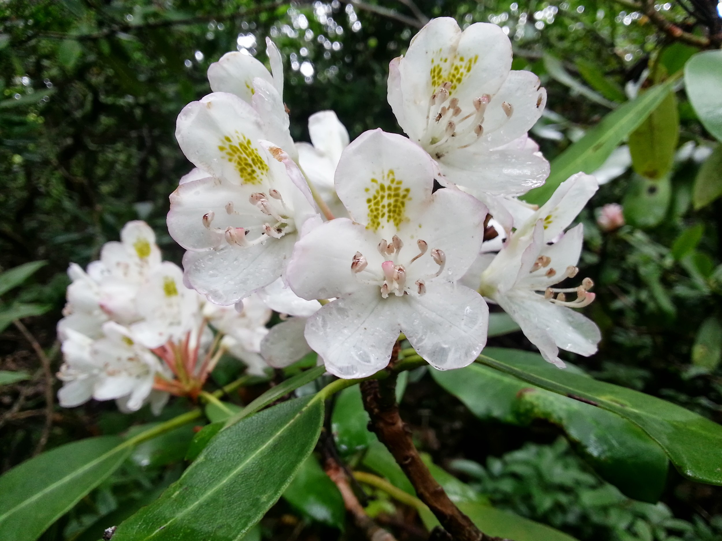 White Rhododendron along the trail