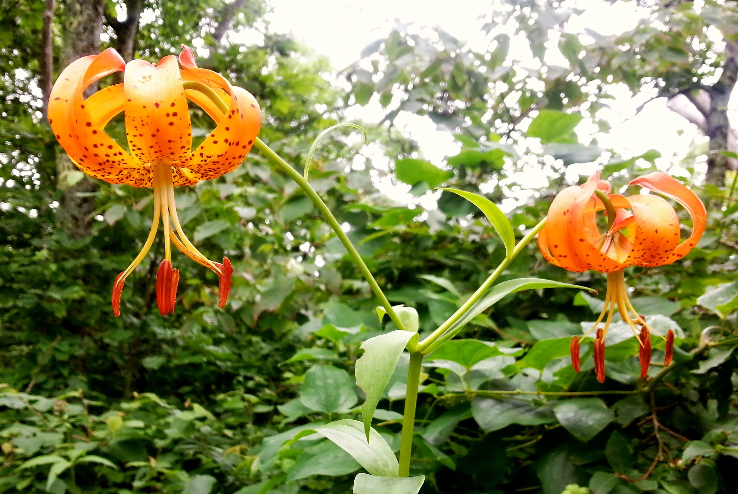 Carolina Lily, aka Turk's Cap Lily ( Lilium michauxii )