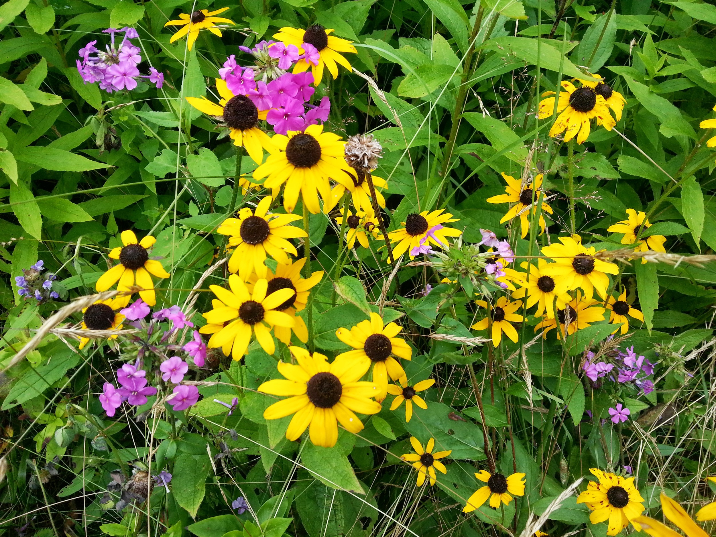 Black-eyed susans and something else. There was one particular spot along the trail that just opened up to a clearing filled with wildflowers