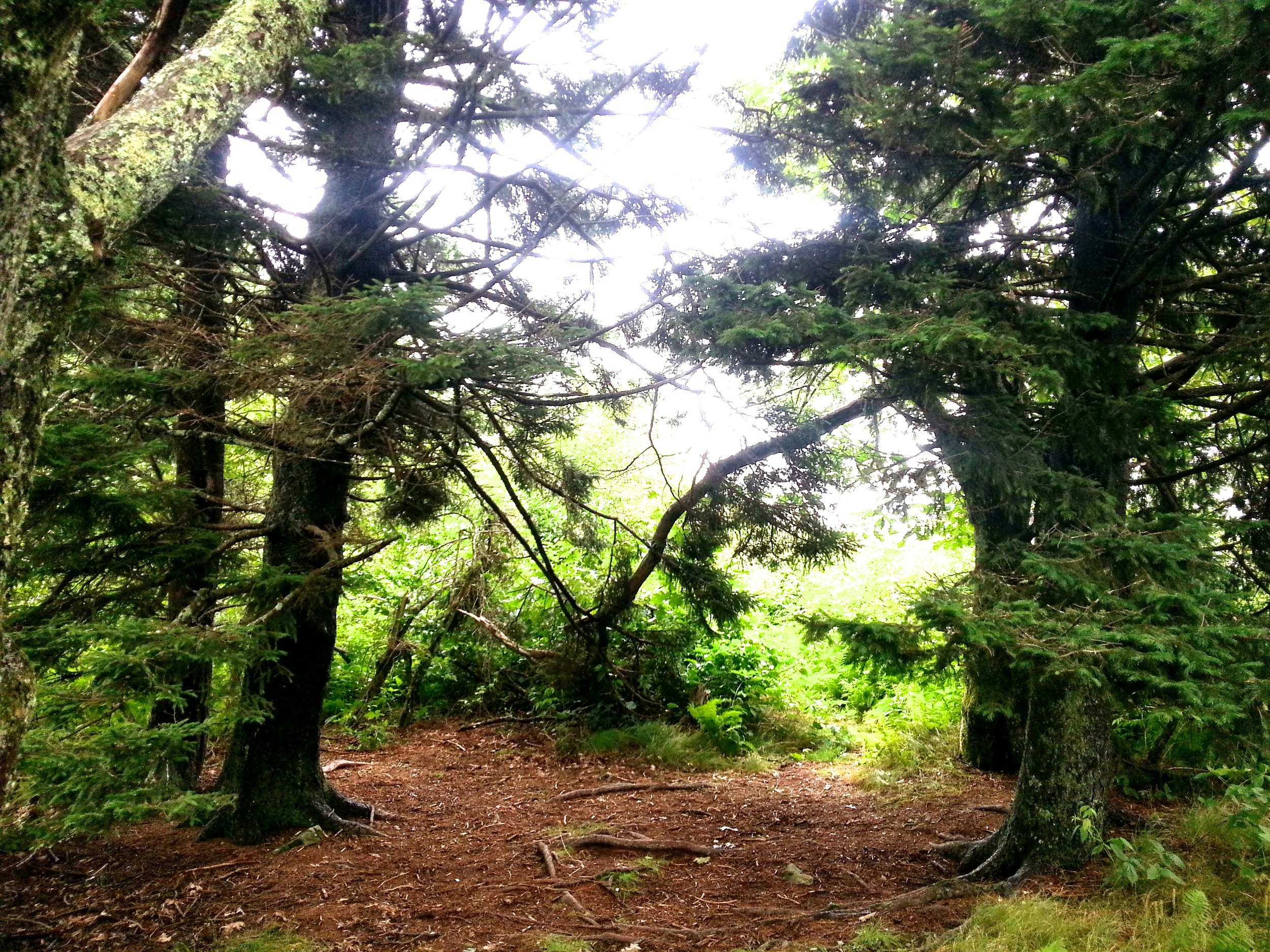 A grove of evergreens tucked into a corner of the ridge.