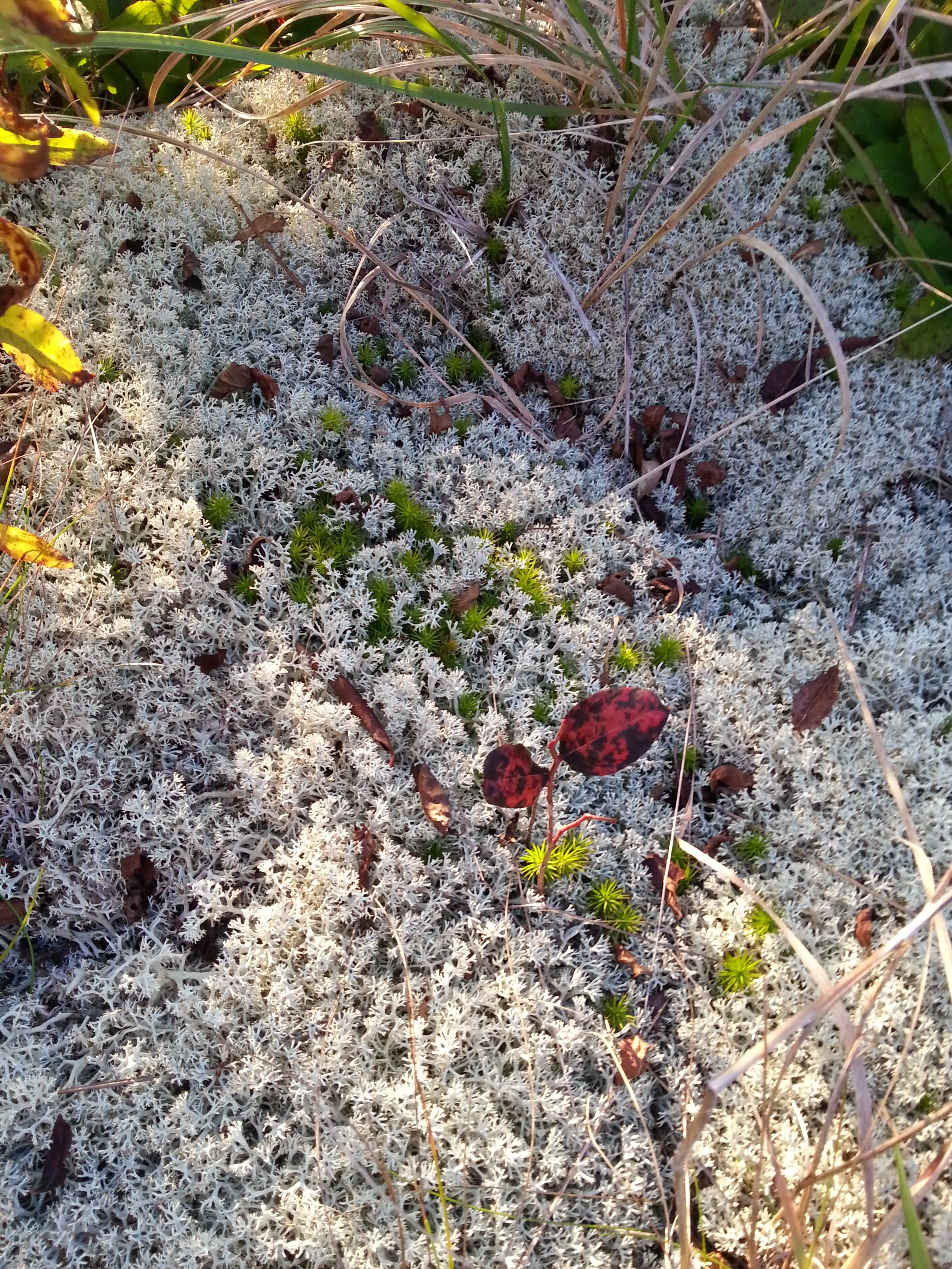 Reindeer Moss (the white stuff) and Sphagnum Moss (the green stuff)