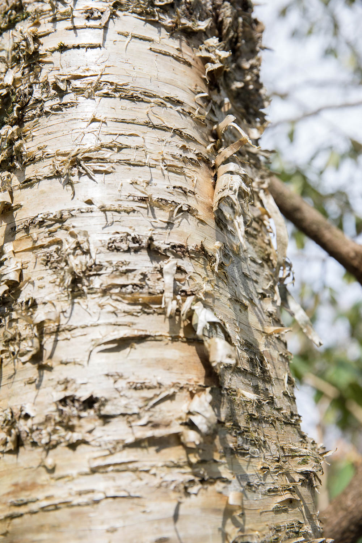 Birch tree as rough as a corn cob