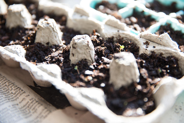 Baby arugula sprouting!