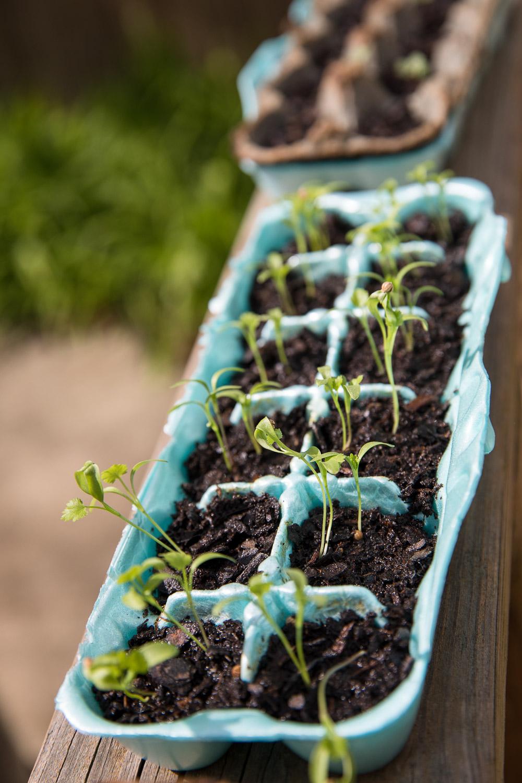 My cilantro is looking happy though. Pico de gallo this summer, anyone?