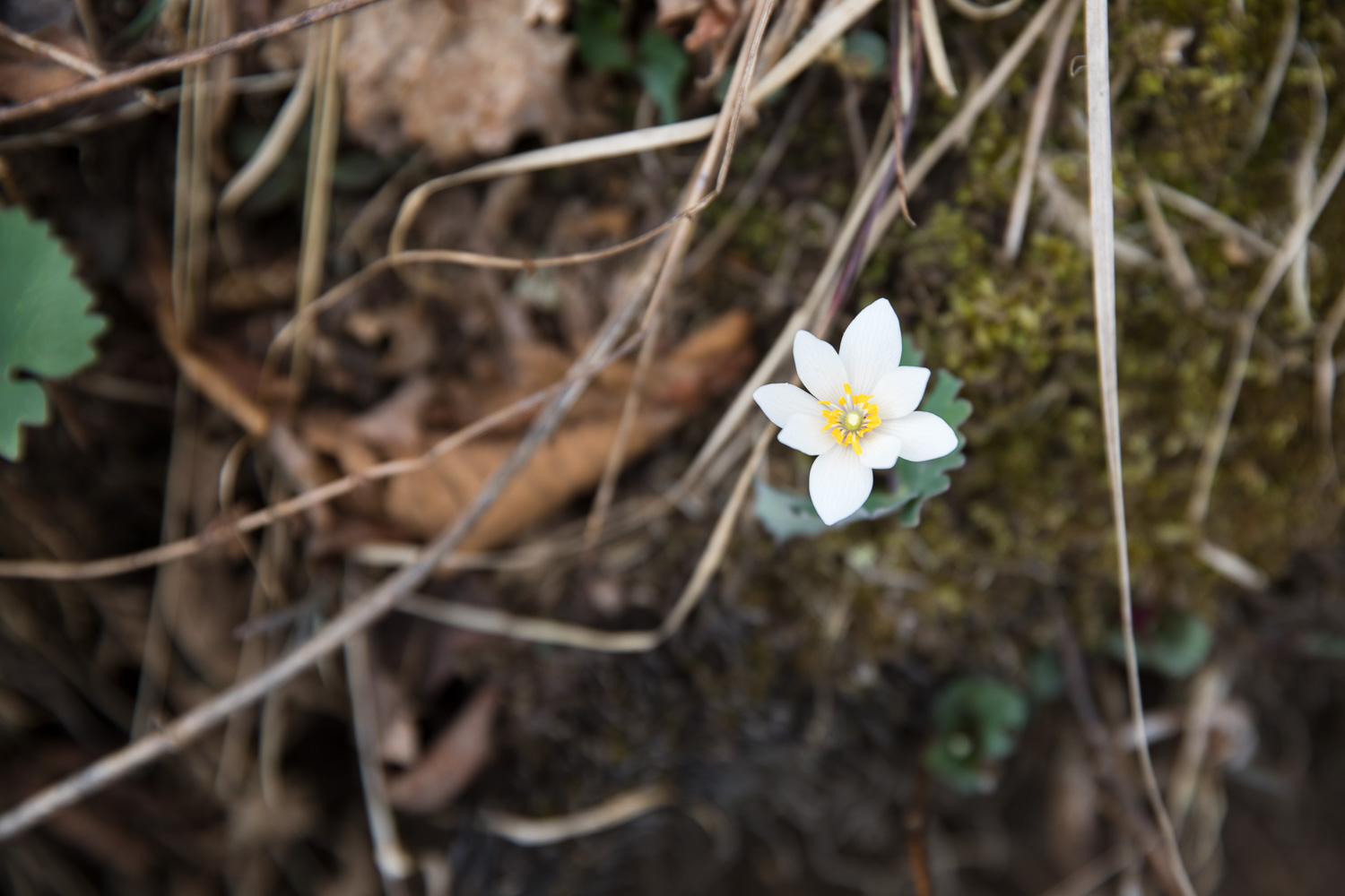 Bloodroot on Appalachian Trail