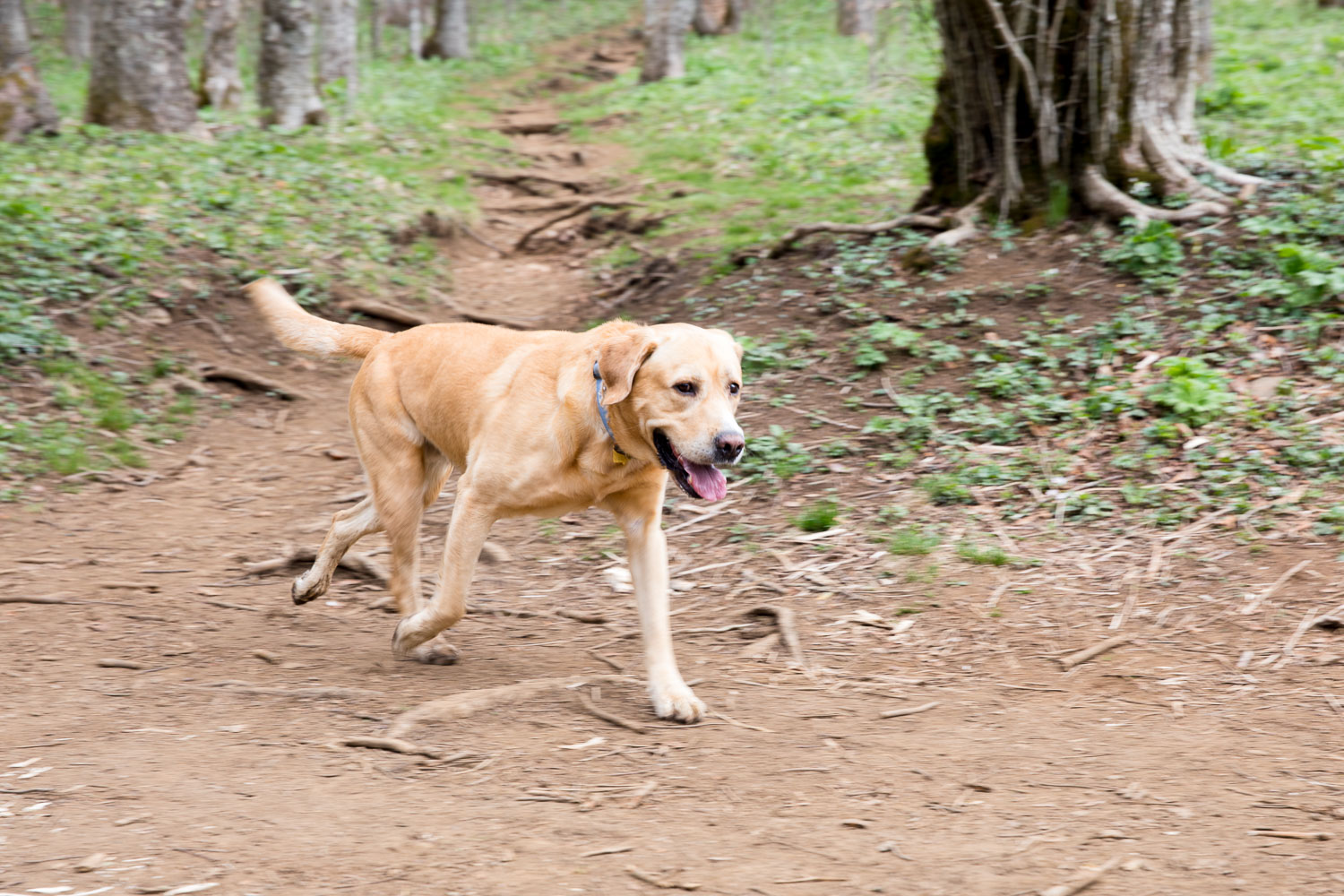 Yellow lab at Yellow Mountain Gap