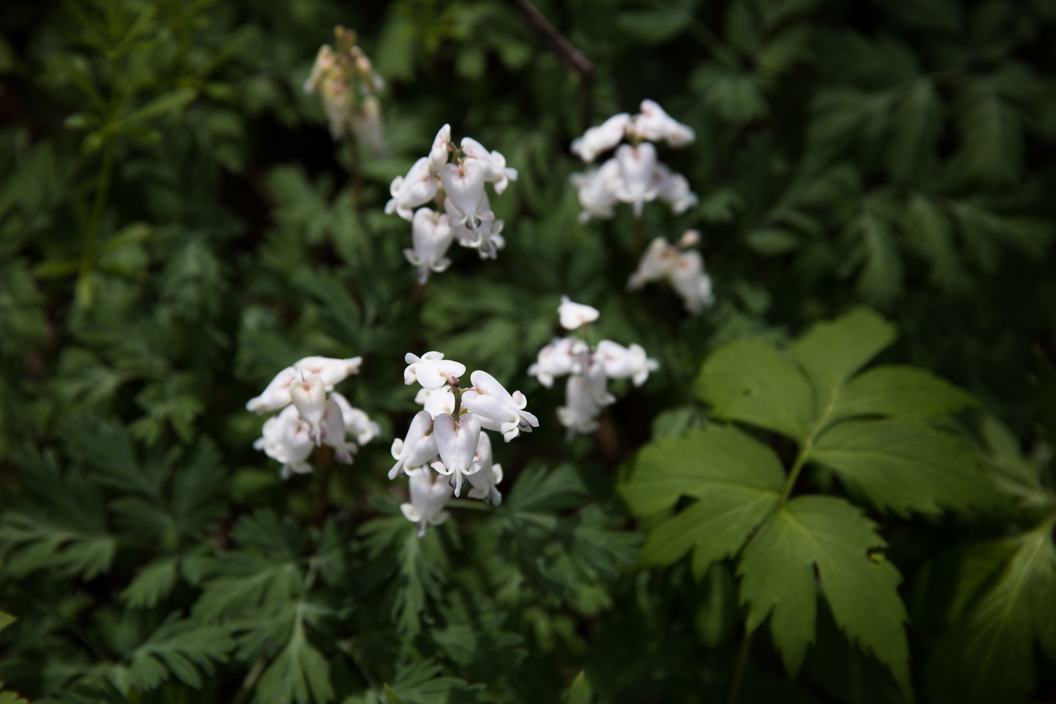 Dutchman's breeches on Appalachian Trail