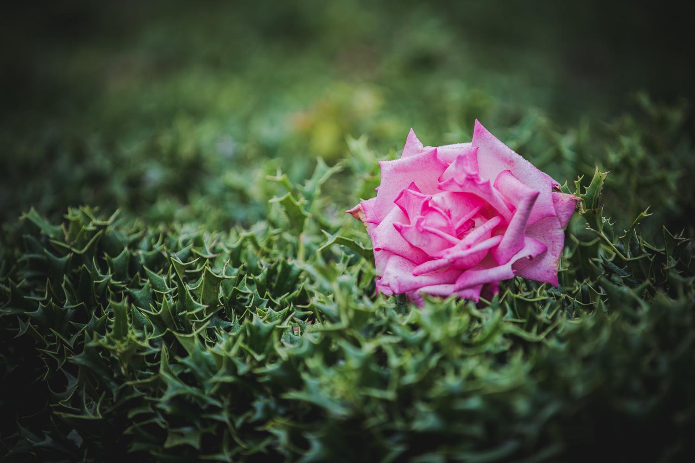 roses-new-2.jpg