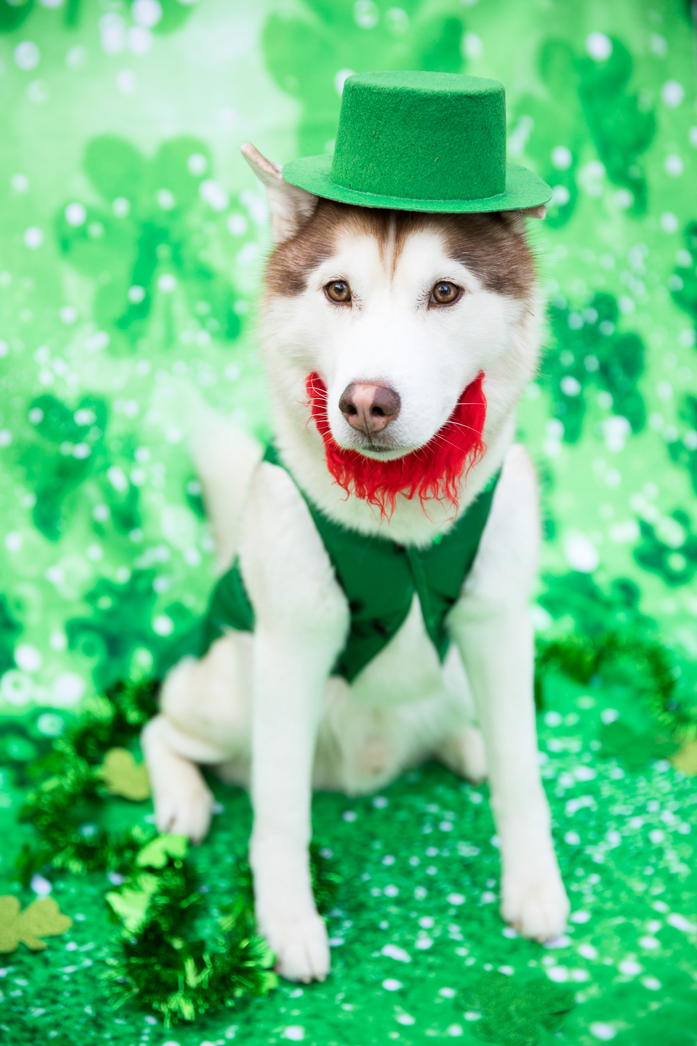 """Lucky leprechaun Ryder! """"Does this red beard make my fur look red?"""""""