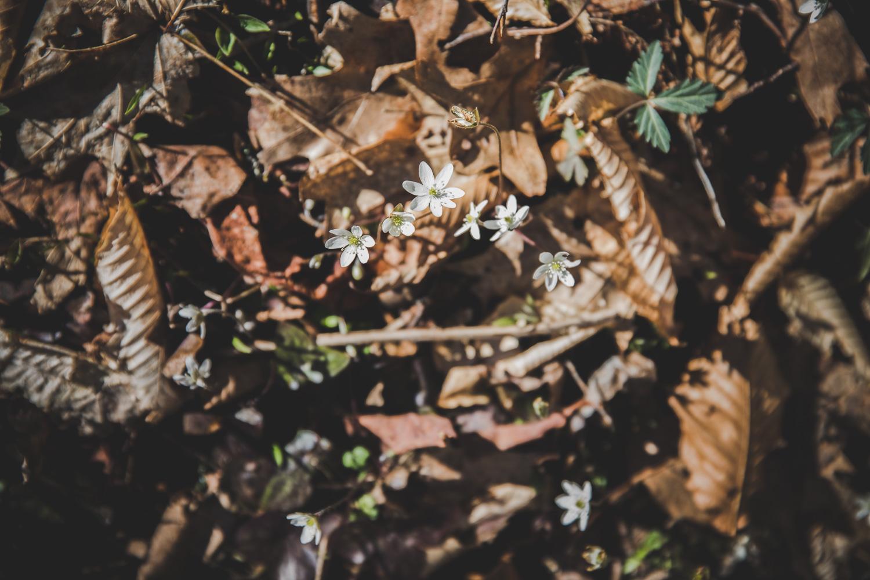 Spring ephemerals on Kimsey Creek Trail