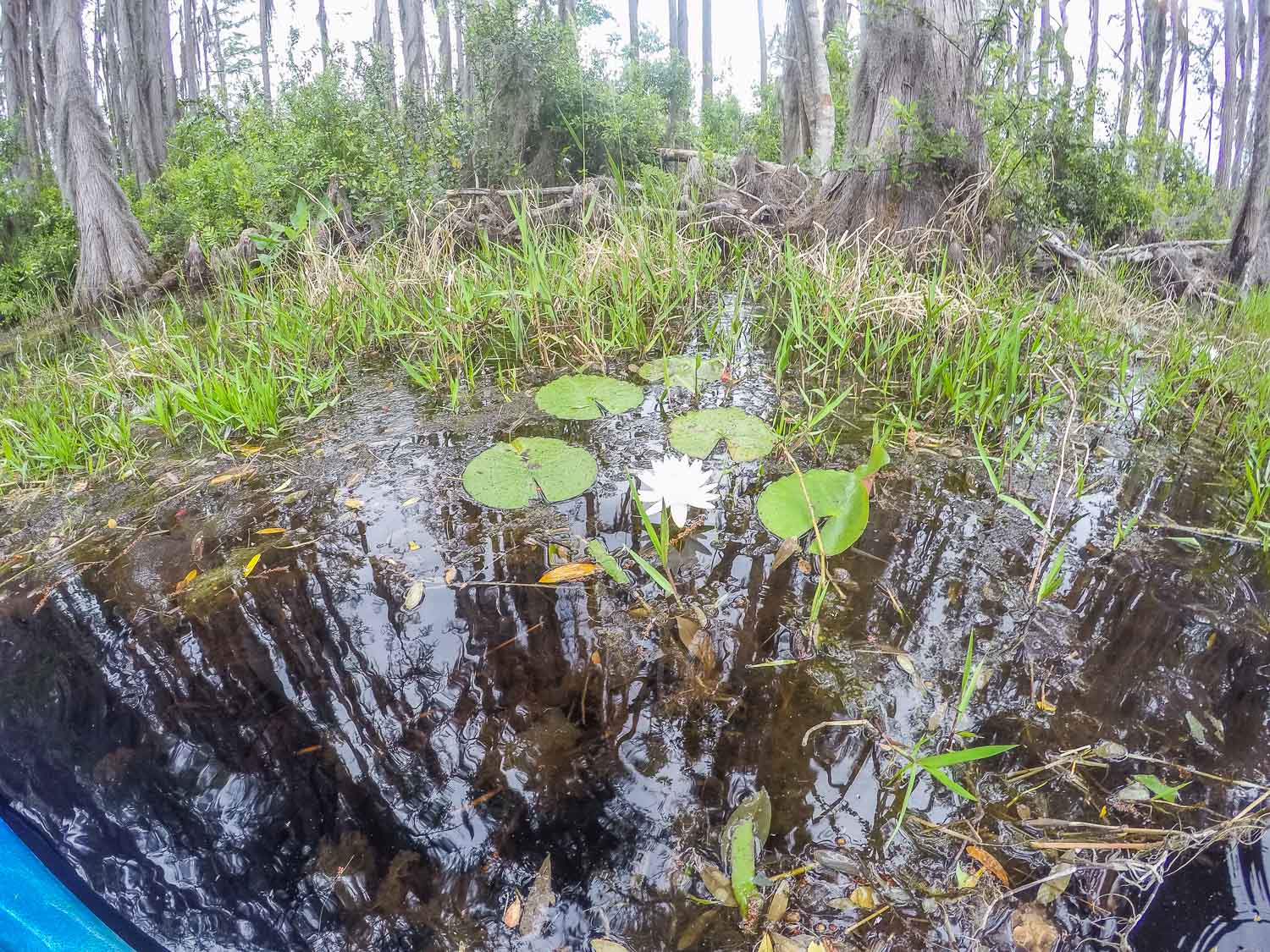 Water lily in Okefenokee swamp