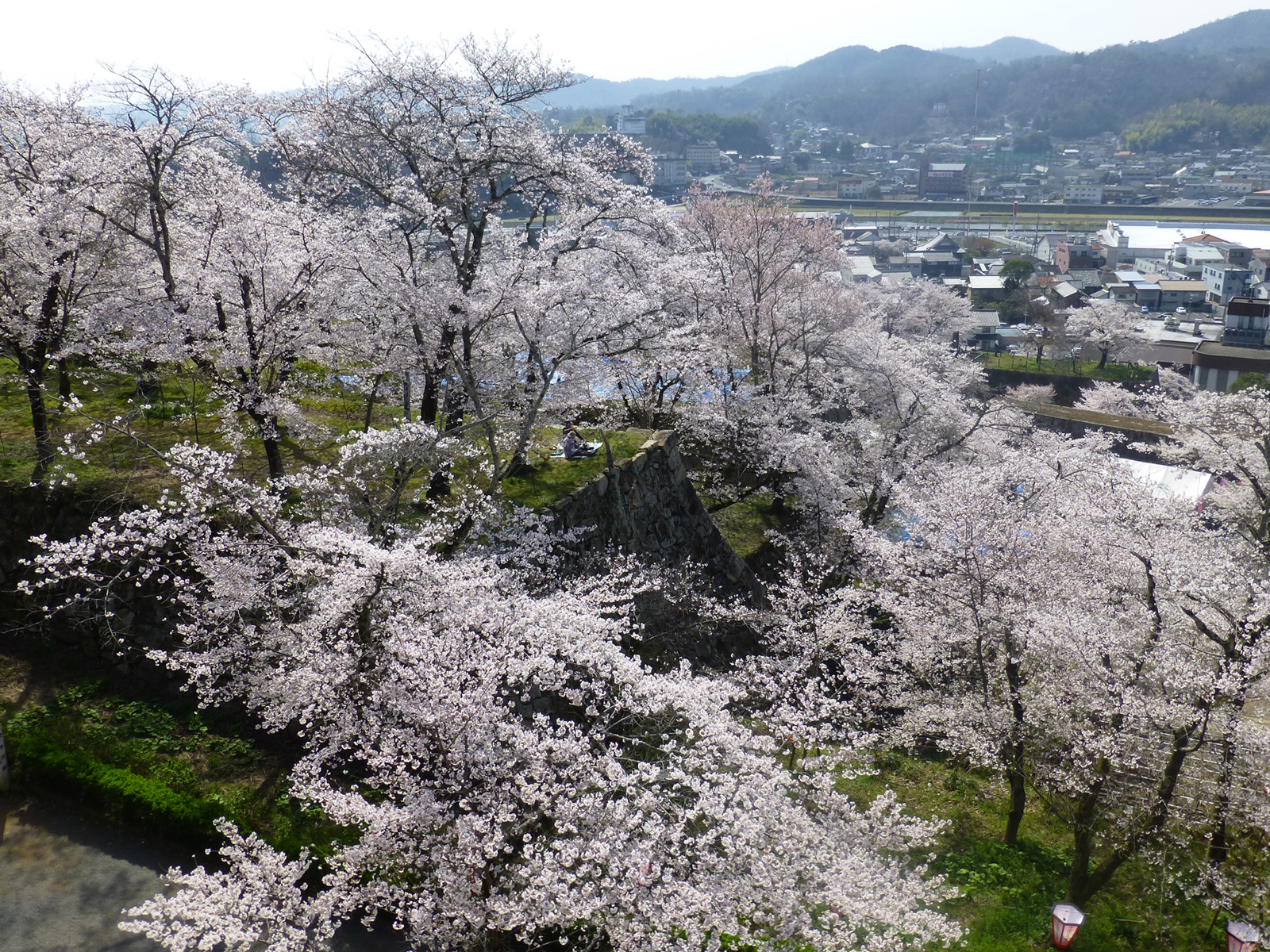 Overlooking the tops of the sakura from the top of Tsuyama Castle