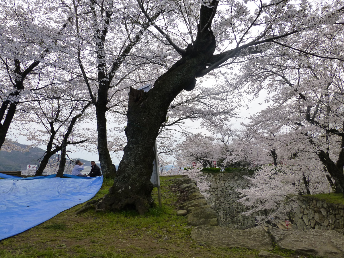 The view from our picnic rug for hanami