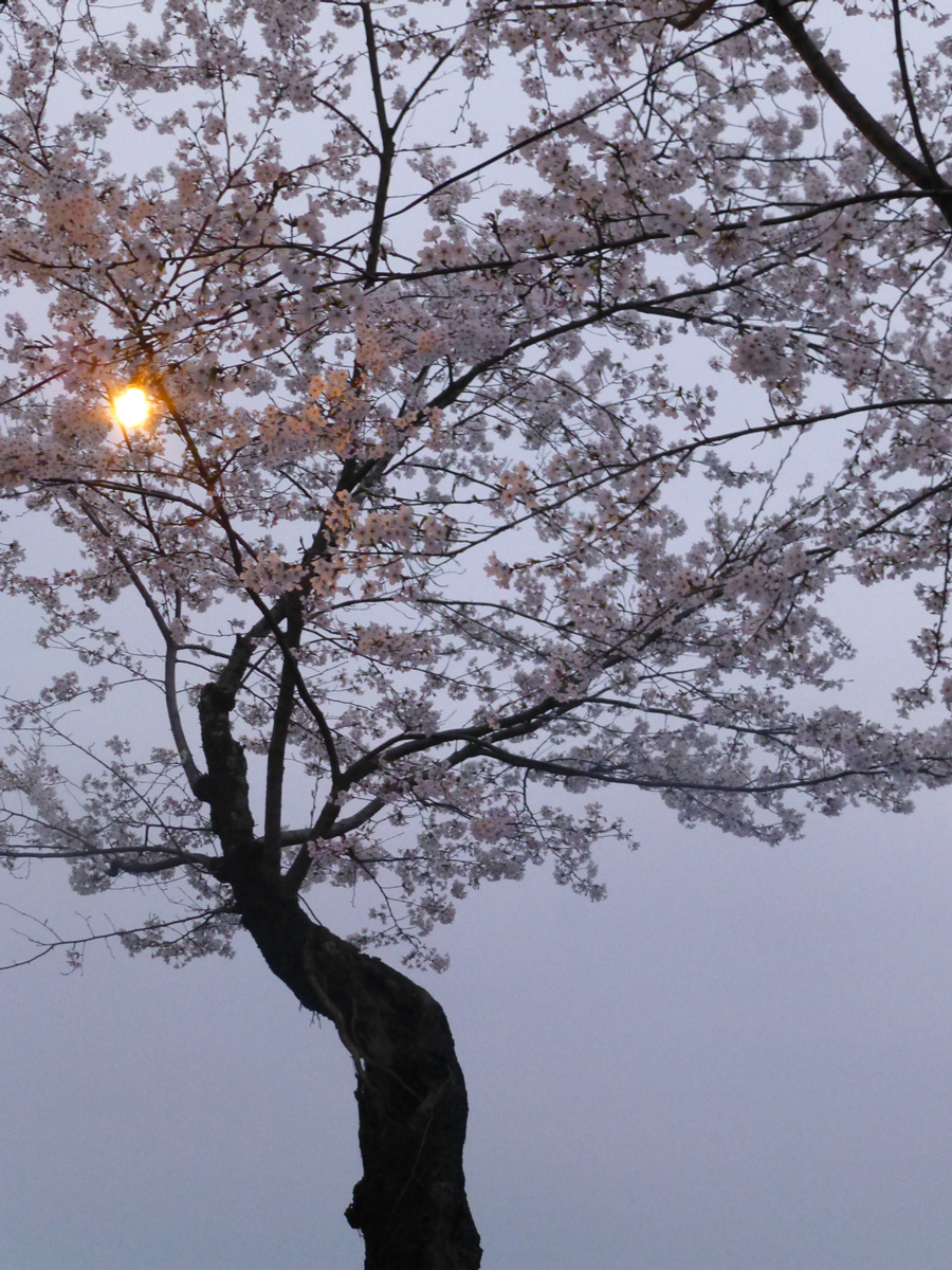 Sakura at sunset