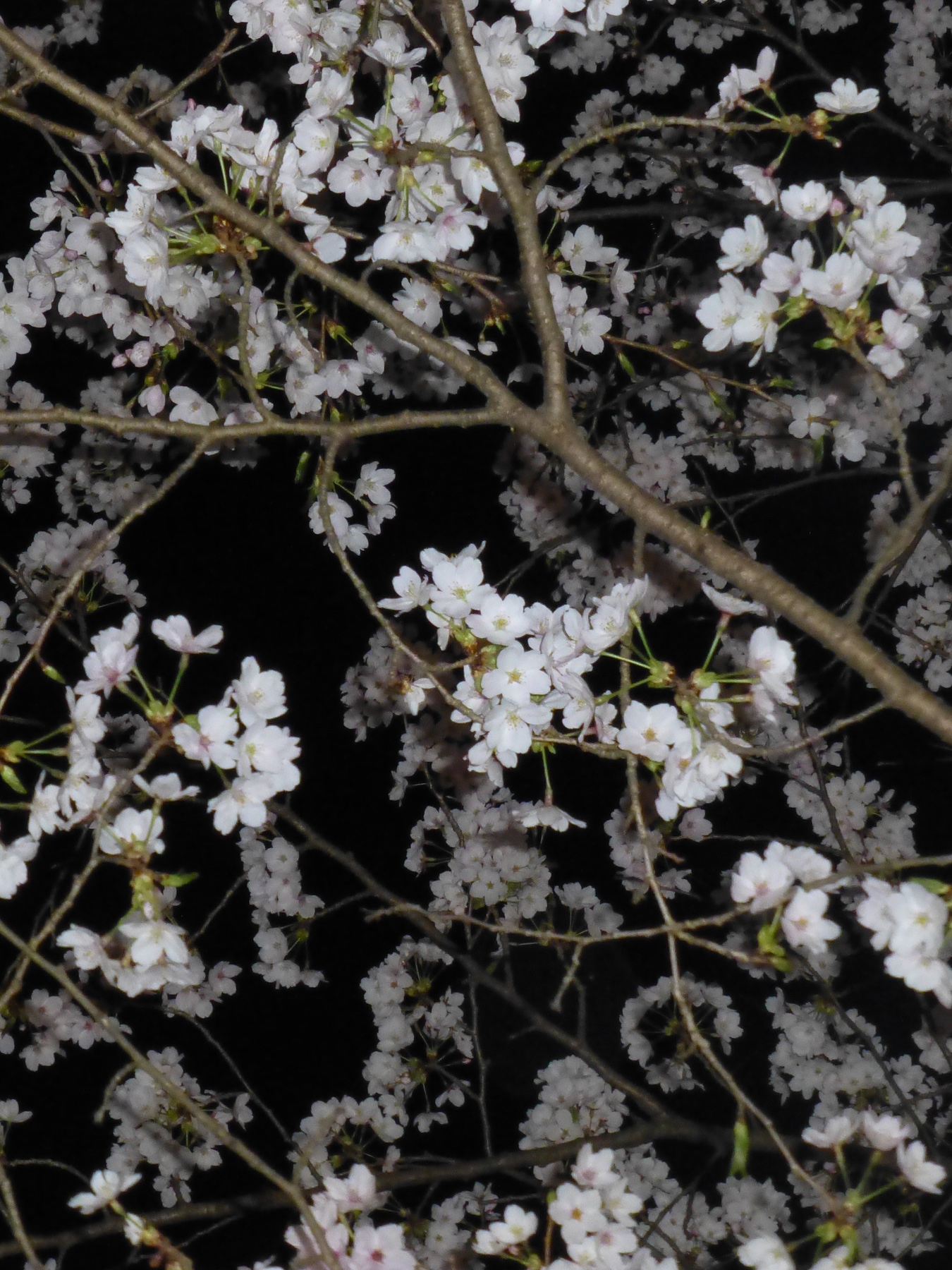 Sakura petals at night