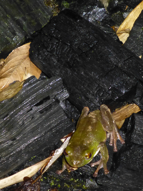 A frog hops along the charcoal garden at night