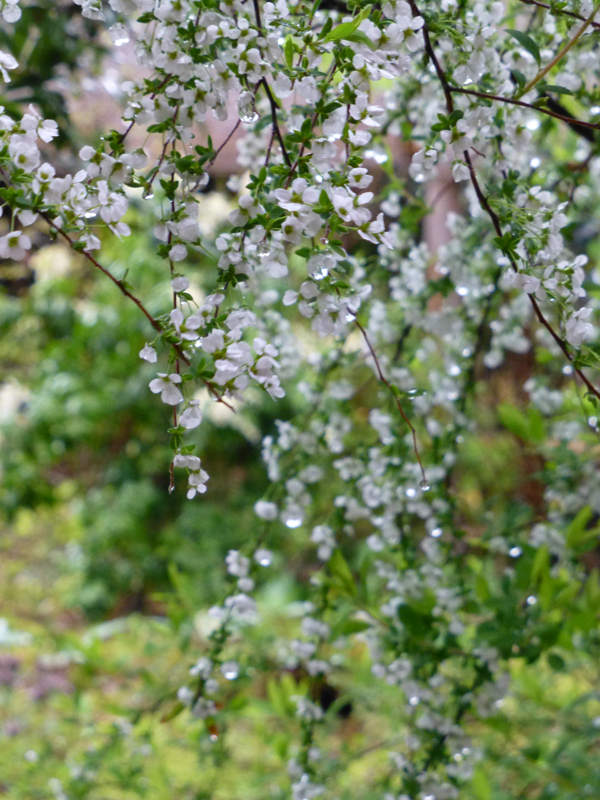 The blossoms covered in early morning dew.