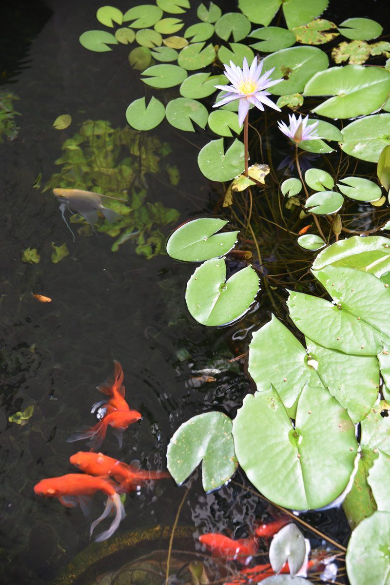 Ponds filled with goldfish and lilypads lined the other side of the walkway around the pool.