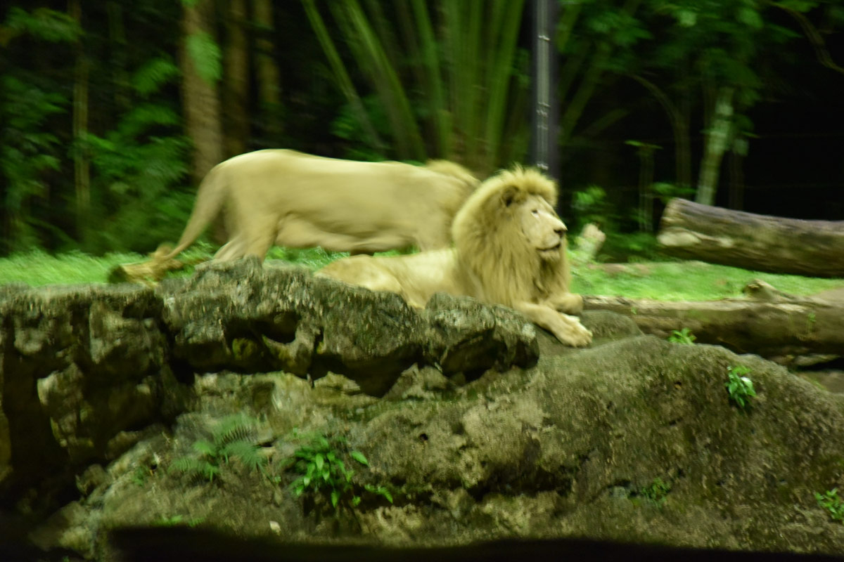 The proud lion on his rock