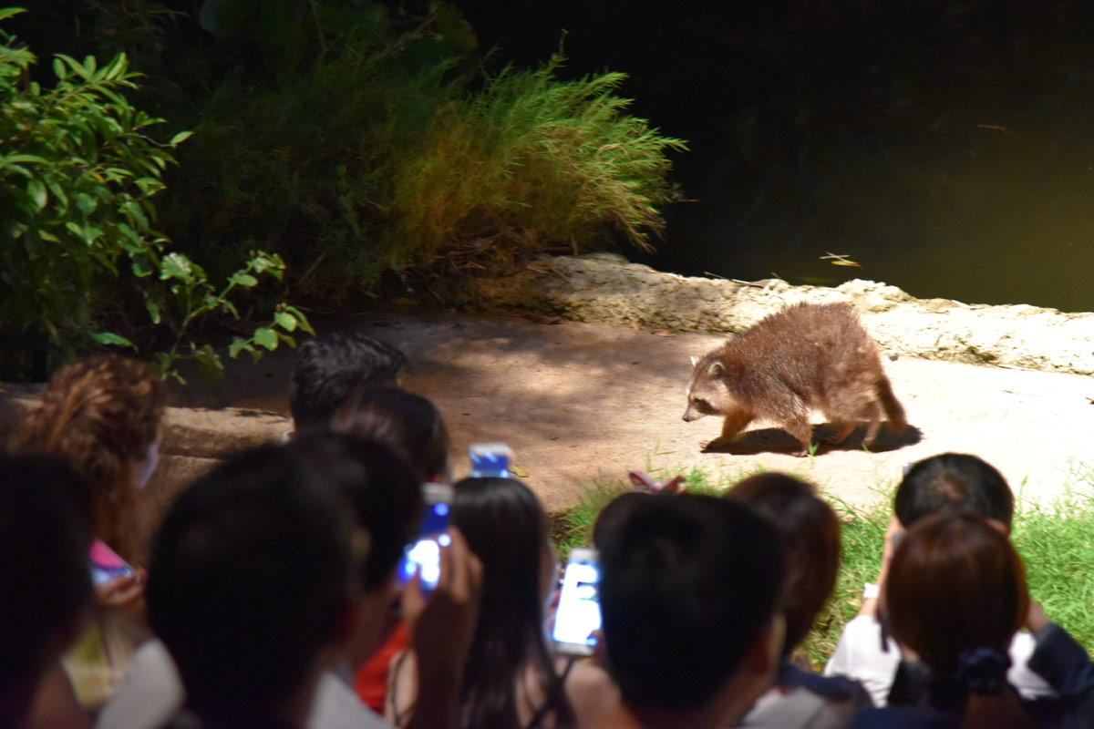 Visitors race to snap photos before the animals run away again.