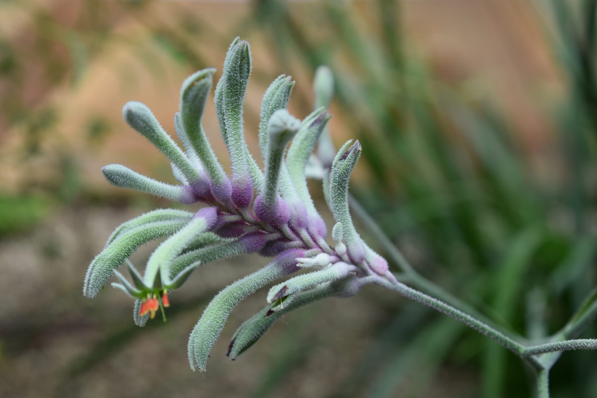 I loved the beautiful purple and minty green tones of this specimen of Kangaroo Paw