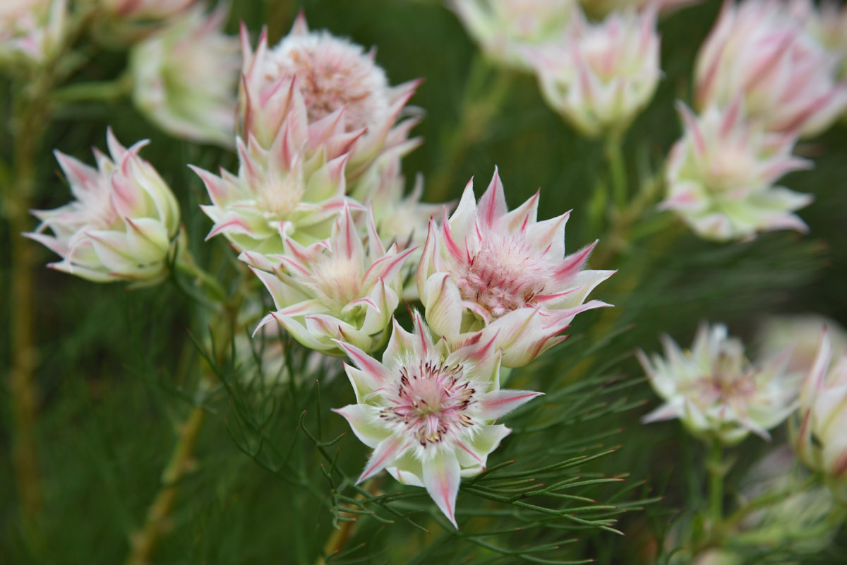 Blushing Brides are part of the protea family.