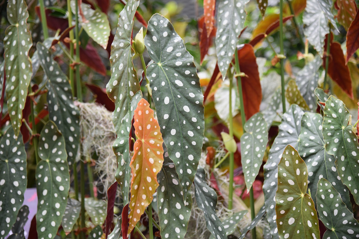 I love these spotty leaves - they look like they should be the perfect inspiration for a catwalk haute couture collection by a top fashion designer.