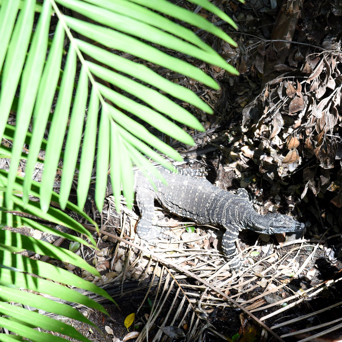 The magnificent Lace Monitor