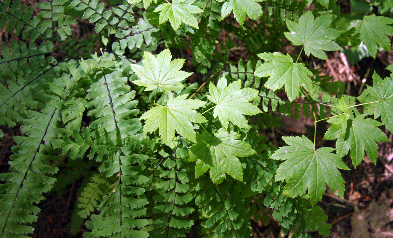 Vine maple and maidenhair fern