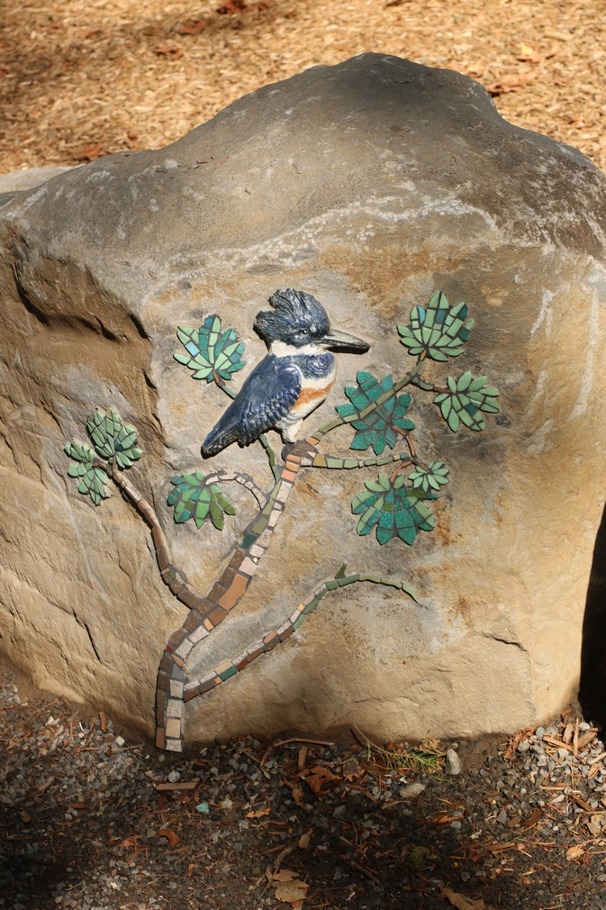 belted kingfisher on vine maple