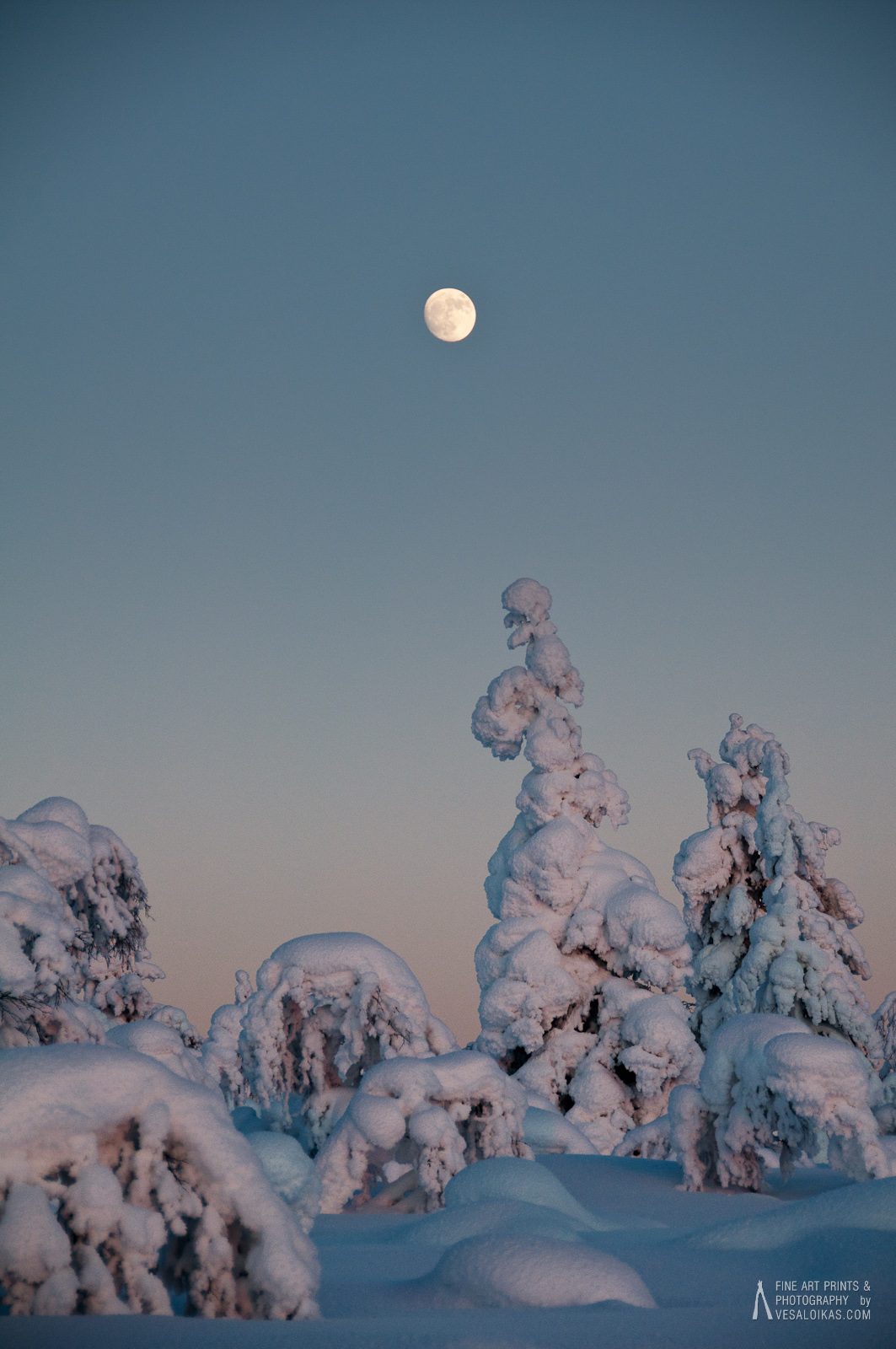Snow covered spruce trees in the tundra in Lapland, Finland. The sun was setting as the moon was rising. The trees reflect the sunlight as does the moon.