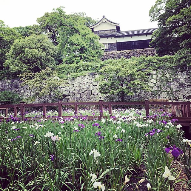 Irises at Fukuoka Castles  #Fukuoka #FukuokaCastle #Irises #MorningRun #RunnersOfInstagram #福岡城 #菖蒲 #アヤメ #MayInFukuoka #五月の福岡
