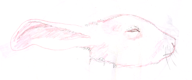 Rabbit's Head