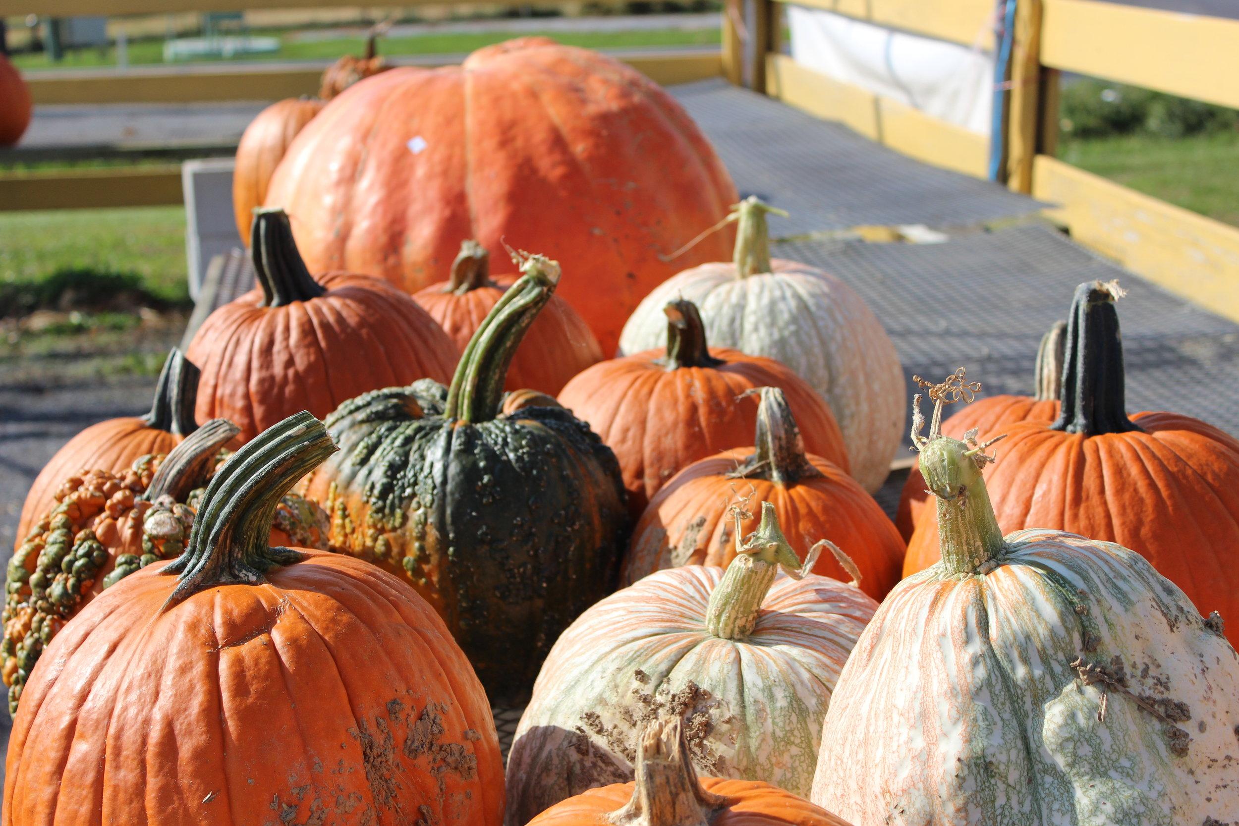 market pumpkins 7.JPG