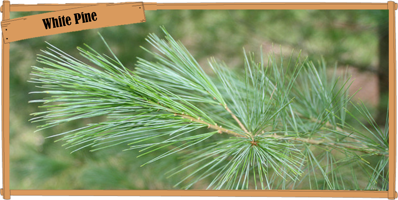 white pine.png