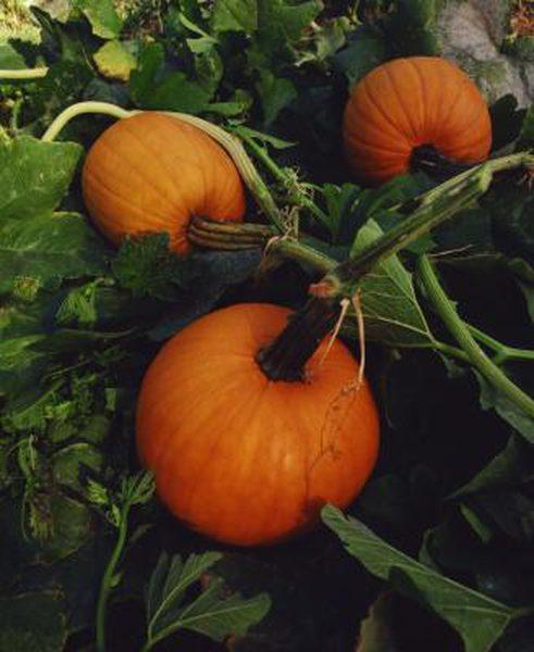 field trip pumpkin.jpg