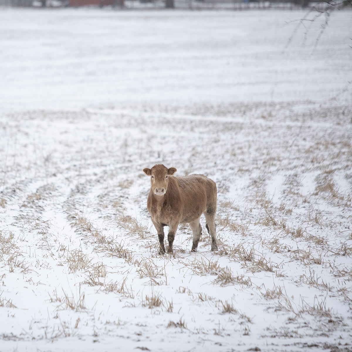 cow in snow.jpg