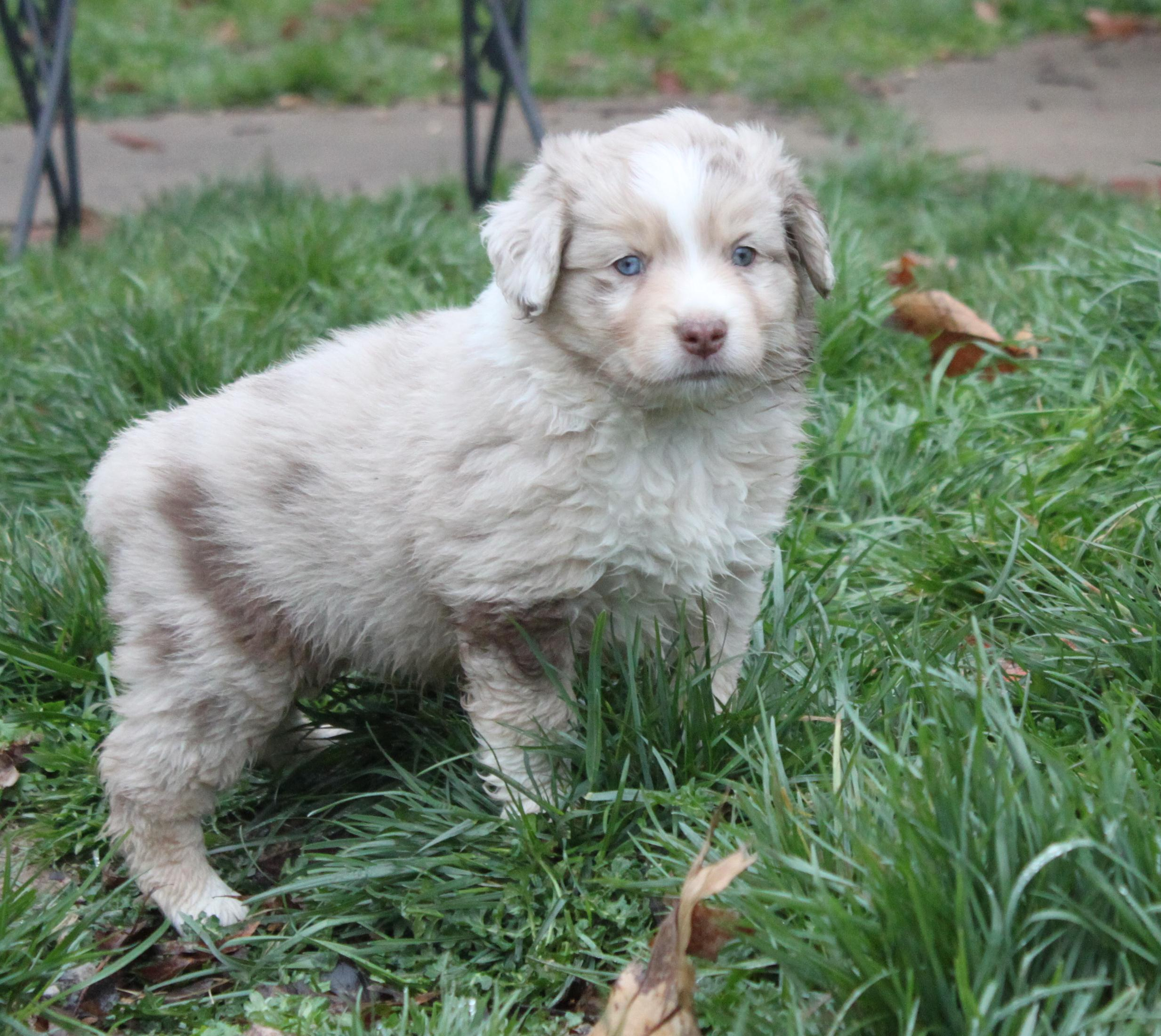 Dart - Red Merle Male