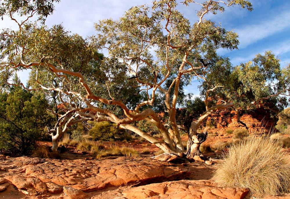 kc tree 8699.jpg