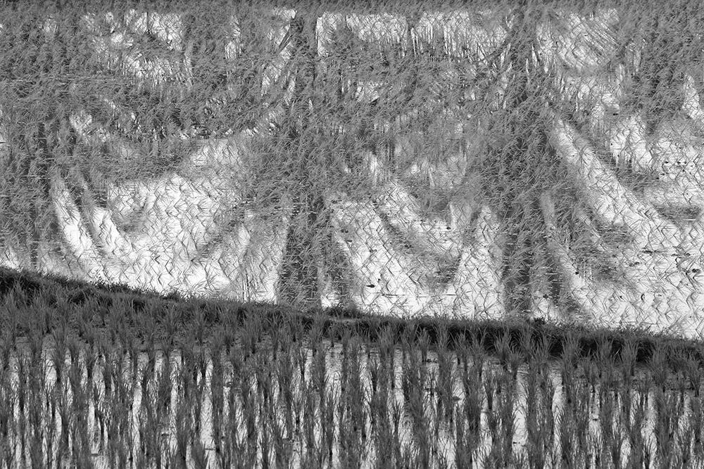 rice fields 2545.jpg